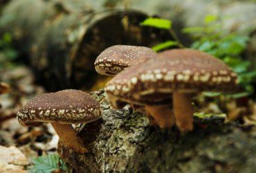 Oferim spre vanzare ciuperci uscate Shiitake bio, obtinute prin permacultura la preturi accesibile